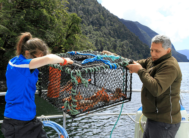 Fiordland Cruises staff lifting a lobster pot over the side of the boat with several lobster inside.