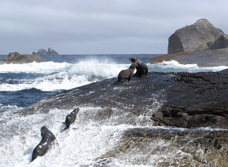 Four Southern Fur seals frolicking on a rock island while waves break violently on the rocks around them.