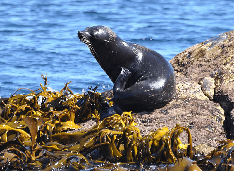 Southern Fur seal basking on a rock surrounded by green seaweed.