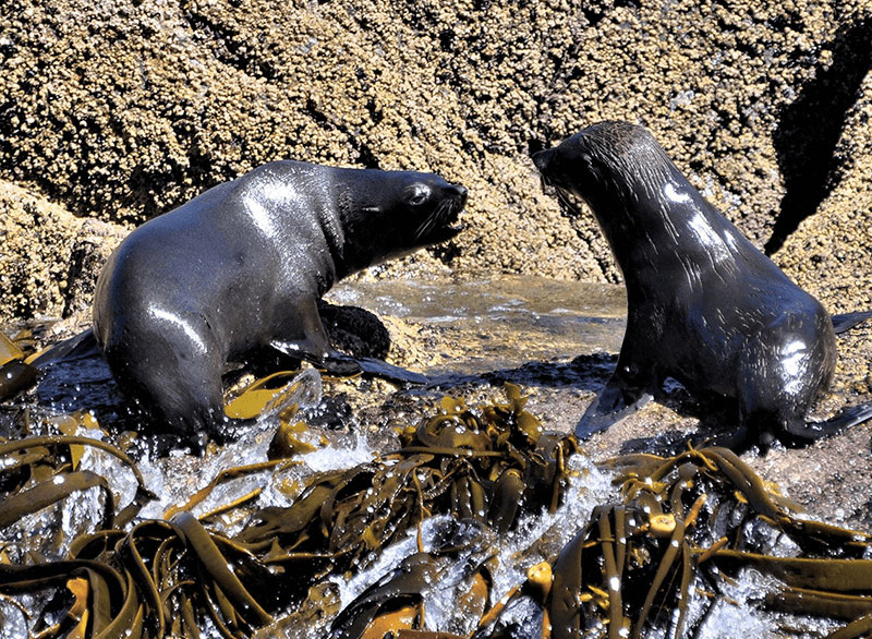 Two Southern fur seals basking on a rock with seaweed in the foreground