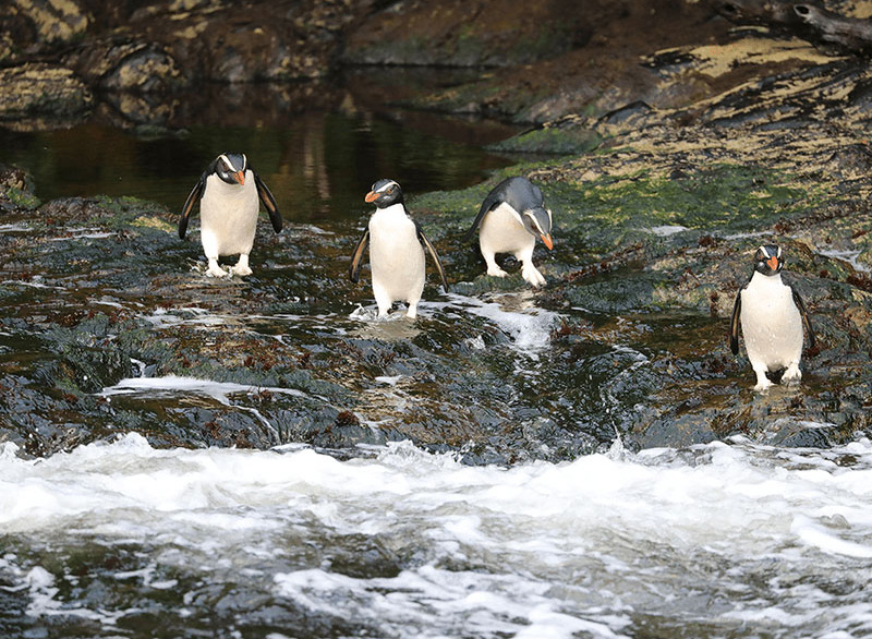 Four Fiordland Crested Penguins, or Tawaki, standing on a rock and about to leap into the water.