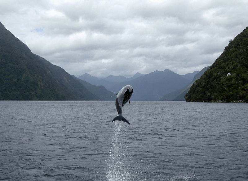A bottlenose dolphin jumping clear out of the water.