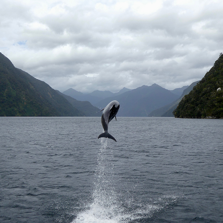 Bottlenose Dolphin leaping out of the waters of Doubtful Sound.