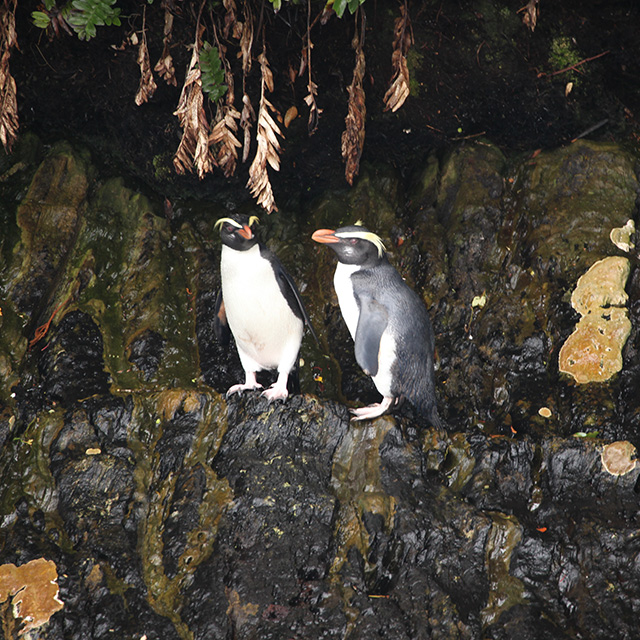 Two Fiordland crested penguins, or Tawaki, standing on an island of rock.